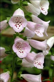 Jack Landgrebe, a Douglas County Master Gardener, grows foxglove, a shade garden favorite. The bell-shaped blooms also make excellent cut flowers.