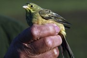 A male Ortolan Bunting is held by a man, who wished to remain unidentified, on a private property in Tartas, southwestern France. The French government is out to get poachers hunting the coveted fowl.