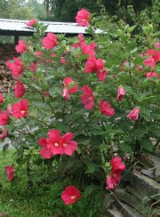 Rose mallow, one of the hardiest of hibiscuses, can be grown outdoors almost anywhere.