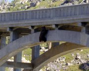 In this photo provided by Truckee Animal Control, a bear is seen clinging to a ledge on Rainbow Bridge on Highway 40 west near Donner Summit near Truckee, Calif. Volunteers rescued the 250-pound bear after it was stuck for almost 24 hours. The bruin was walking across the bridge when at least two vehicles drove by at the same time and spooked the bear, according to rescuers.