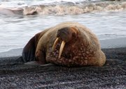 This Sept. 28 photo provided by the North Slope Borough shows a young male walrus resting on the beach in Barrow, Alaska. Scientists and conservationists are expressing alarm at the appearance of thousands of walruses on Alaska's northwest coast, a dramatic demonstration of the effects of diminished Arctic sea ice brought on by global warming.