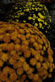 George Osborne employs yellow mums to brighten his property, but he also uses more exotic blooms, such as yellow lantana and copper leaf acalypha wilkesiana.