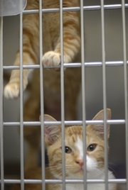 Kittens Rowdy, bottom, and Breeze, top, look out from their cage at the Lawrence Humane Society.
