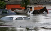 Horses and cars are stranded Friday in flooded Villahermosa in Mexico's Gulf Coast.  Hundreds of thousands of Mexicans fled the flooded region Friday.