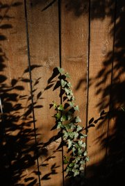 A vine winding up the Jacobs' fence is masked by shadows from surrounding foliage.