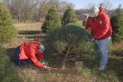Eric Walther and his son, Mitchell Walther, cut down this year's Christmas tree for the governor's mansion in Topeka. The owners of the Strawberry Hill Christmas Tree Farm, just west of Lawrence, chose a 10-year-old, 9-foot Scotch pine for Gov. Sebelius' home.