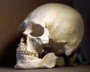 A plastic casting of the Kennewick Man's skull is shown in Richland, Wash., in this 1997 file photo. Scientists hoping to study the ancient skeleton are protesting efforts that they say could block them from examining it.