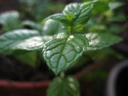 Mint grows in Ocoee Miler's small greenhouse attached to her home near Lone Star. Miller grows herbs and lemons all year, moving her plants inside during the winter months.