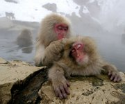 Japanese Macaque monkeys groom each other, sitting in a hot spring in the snow at Jigokudani Wild Monkey Park in Yamanouchi, Nagano prefecture, central Japan on Jan. 19, 2004. Male macaque monkeys pay for sex by grooming females, according to a recent study that suggests the primates may treat sex as a commodity.
