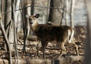 A deer roams Friday in the South Mountain Reservation in West Orange, N.J., near private homes. Sharpshooters will take to the trees next week to reduce the deer population.