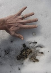 A large animal believed to be a mountain lion left its track in the snow - nearly as big as a human hand. Journal-World photographer Richard Gwin took the photo Feb. 24.