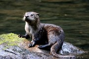 This Northern River Otter was photographed by wildlife photographer Will Stuart and is one of three that were spotted near Abrams Falls in the Cades Cove area of the Great Smoky Mountain National Park in North Carolina.