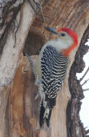 The Red-Bellied Woodpecker is a creature seen in the summertime.