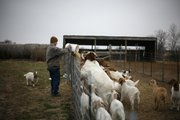 Clint Flory feeds his goats on his farm south of Baldwin City. The Florys live on Josie Flory's grandmother's old farm and raise livestock. Clint Flory also must work as a maintenance technician to support his family because farming would be an inadequate sole source of income.
