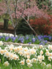 Daffodils add to a sea of color on the property of Reed and Stacey Dillon. Reed Dillon owns a Lawrence-based landscaping business.