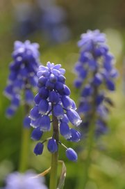 Grape hyacinth are among the featured flora John McCaffrey likes to use.