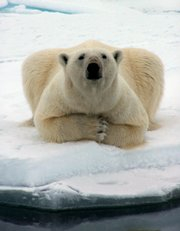 A polar bear watches a whaling crew offshore near Barrow, Alaska, in this May 2006 file photo provided by Mary Sage. Polar bears were declared a threatened species by the Interior Department on Wednesday.