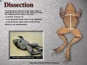 A screen shot is shown of a frog dissection image from a virtual dissection program in this handout photo provided by Digital Frog International.