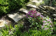Dianthus adds a splash of color along a limestone path in Beth Stella's garden at her 1135 West Campus home. The Stellas' backyard garden contains several historical pieces of the former owner's backyard.
