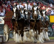 The Budweiser Clydesdales make an appearance before the start of a St. Louis Cardinals baseball game at Busch Stadium in St. Louis in this April 1, 2007, file photo. The proposed sale of Anheuser-Busch to a Belgian company has become a rallying point for lawmakers playing to the populist view that America is being sold off bit by bit.