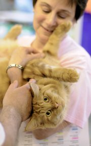 Katie Scarlet, a Maine Coon cat, relaxes while being scratched by her owner, Chris Buck, from South Beloit, Ill., on Saturday at the Cat Fanciers' Association Kansas City Midwest Cat Show at the Douglas County 4-H Fairgrounds. The show continues today.