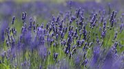 The Wilsons say lavender is a hardy plant and will grow with very little water.