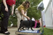 Topekan Sandy O'Rear leads her 10-year-old pug, Cricket, onto a scale Wednesda outside the Kansas Statehouse in Topeka. Veterinarians and workers with Hill's Pet Nutrition's PetFit Tour spoke with passersby about the importance of exercising and maintaining a healthy diet for their pets.