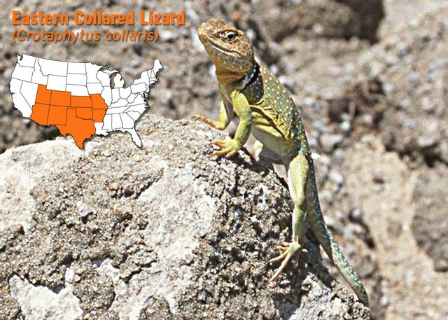 Oklahoma_State_Lizard http://www2.ljworld.com/photos/2008/aug/01/152652/
