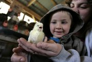 Levi Himes, 4, looks at a baby chick his mother, Melissa Himes, holds during a poultry auction at the Belleville Farmers Market & Livestock.