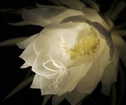 The night-blooming cereus, also known as the queen of the night, is a member of the cactus family and looks like a gangly dead bush most of the year. But for one late summer night each year its vanilla-scented flower opens at nightfall, only to close at the first rays of the morning sun. This blossom was photographed Tuesday night using a flashlight for illumination and a macro lens with a shallow depth of field. Flora and fauna of all kinds are making delicate transitions in their life cycles as summer turns to fall.