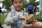 Mili Matthias, 6, of Lawrence, pets a bearded dragon lizard named Vic during the Fall Arts and Crafts Festival. Chris Sechler, of Lawrence, was watching the lizard for her daughter, Elise Sechler, while selling art at a booth.