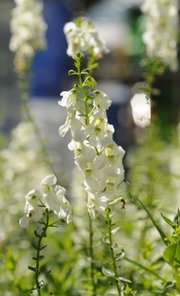 White angelonia grows downtown. Mid-block downtown planters also contain royal velvet supertunia, citrus blend lantana, serena white angelonia, fire profusion zinnias and flamenco rumba cuphea.