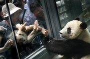 "In this June 5 file photo, visitors look at a giant panda through the protective glass of a renovated panda hall inside a zoo in Beijing. Two pandas in the Wuhan Zoo in central China have been enjoying home-cooked chicken soup twice a month for nutrition and stress reduction. ""They loved it,"" said He Zhihua, zoo official."