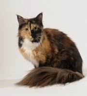 Connie Pelham's Maine Coon cat Gypsy Rose Lee is a pretty smart cat in the world of felines. Considered one of the smartest cat breeds, the breed can fetch and is on the same level intellectually as a human 2-year-old.