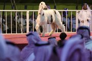 People look at a sheep during the sheep beauty pageant Thursday in Banban, Saudi Arabia, north of the capital, Riyadh. The contest mixed business and entertainment; poets sang the animals' praise in verse as the male-only audience checked out the competitors for beauty features, such as the span of their cheeks, the length of their neck and the color of the hair covering their bodies.