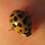 Entomology experts say that Asian lady beetles, which seem to be everywhere in Lawrence, are simply looking for a place to hibernate for the winter.