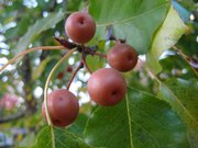 Crab apples hang off a tree on the Kansas University campus.