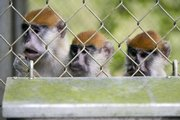 Captured monkeys eat food from a steel bin inside a cage at a ranger station used for animal control Tuesday in the Cambalache Forest in Puerto Rico. Non-native monkeys, some harboring diseases, originally brought to the island for research are increasing in numbers after having run wild for the past 30 years, threatening agriculture across the island.