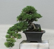This bonsai is growing at Longwood Gardens in Kennett Square, Pa. Pruning a bonsai is what makes and keeps it small, but pruning is only a small part of the art of bonsai.