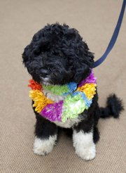 In this undated photo released by the White House, the Obama family's new dog, Bo, a 6-month-old Portuguese water dog, is shown at the White House in Washington.