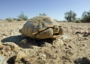 In this Sept. 3, 2008, file photo, an endangered desert tortoise sits in the middle of a road in the proposed location of three BrightSource Energy solar-energy generation complexes in the eastern Mojave Desert several miles from an old mining and railroad townsite called Ivanpah, Calif. Rising interest in the desert's potential for the generation of solar energy is threatening environmental efforts to protect the tiny pupfish and desert tortoise by siphoning off water, a precious regional resource. Water is used as a cooling agent in many types of solar plants.