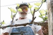 Les Meyer thins out the shoots on a grape vine in preparation for the growing season at Holy-Field Winery in Basehor. The winery is owned by a father-daughter duo.