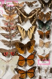 Above are the butterflies and moths Aubrey Goscha has collected.