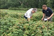 The U-pick operation at the Lawson Brothers Farm near Vinland has drawn many families and fruit fans with its collection of strawberries, raspberries and blackberries.