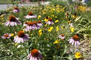 Purple coneflowers and coreopsis add color to Heikes' garden.