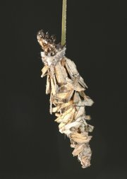 Thyridopteryx ephemeraeformis, commonly known as bagworms, will quickly destroy evergreens and shrubs when left untreated.