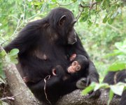 Chimp 099 is shown with her daughter in Gombe National Park, Tanzania, in this March 7, 2006, handout photo provided by Nature magazine. Ch-099, first sampled in 2003, was infected with SIVcpz from the onset of the study. She died in November 2006 from complications of a spinal cord injury. Her body, recovered shortly after her death, was one of three bodies of SIVcpz-infected chimpanzees that were subject to post-mortem analysis.