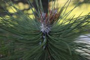 Tip blight is among the diseases killing Austrian and Scots pines in the Midwest.