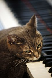 Nora, a piano-playing cat owned by Betsy Alexander, rests her head as she depresses piano keys Thursday at her home in Philadelphia.