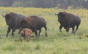 Bison play at Lone Star Lake Bison Ranch, owned by Don and Terri Gibbs. The Gibbs and their herd are on the Kaw Valley Farm Tour for the fourth time this Saturday and Sunday.